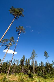 Free Perspective View Of A Pine Woods Stock Photo - 5991560