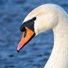 Art Portrait Of A Swan Royalty Free Stock Photography