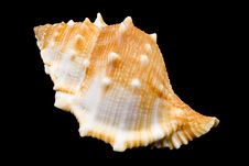 Free Conch Royalty Free Stock Photo - 5991845