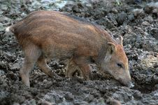 Free Wild Boar Royalty Free Stock Image - 5992006
