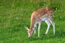 Free The Hind Of The Fallow Deer Royalty Free Stock Photo - 5992065