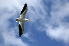 Free Flying Pelican Stock Photo - 5992450
