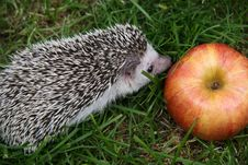 Free Young Hedgehog And An Apple Stock Photo - 5992460