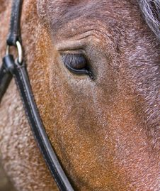 Free A Horse S Head. Royalty Free Stock Photography - 5992497