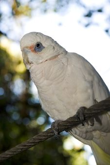 Free Bare Eyed Cockatoo Or Little Corellas Stock Images - 5992664