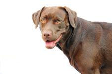Free Chocolate Labrador Stock Image - 5992771
