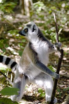 Free Ringtail Lemur Royalty Free Stock Image - 5993106