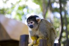 Free Squirrel Monkey Stock Images - 5993174