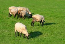 Free Sheep On The Meadow Stock Photos - 5993223