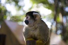 Free Squirrel Monkey Stock Images - 5993244
