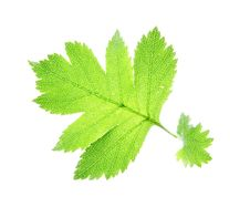Free Leaf On A Gleam Royalty Free Stock Image - 5993246