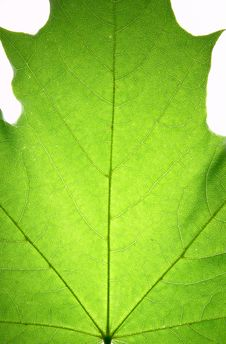 Free Leaf On A Gleam Stock Photography - 5993252