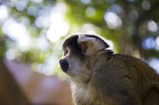 Free Squirrel Monkey Stock Image - 5993301
