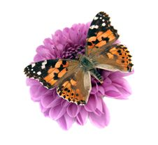 Free Butterfly Royalty Free Stock Photography - 5993307