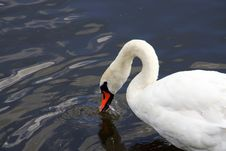Free Swan Royalty Free Stock Photography - 5993797