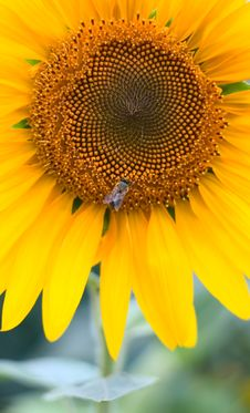 Free Sunflower Background Royalty Free Stock Photos - 5993838