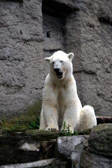 Free Polar Bear Gaping Royalty Free Stock Photos - 5994338