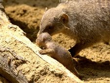 Free Banded Mongoose Baby & Mother Stock Photos - 5994413