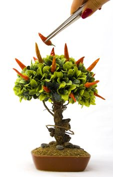 Chillipeppers On Bonsai Tree Royalty Free Stock Photo