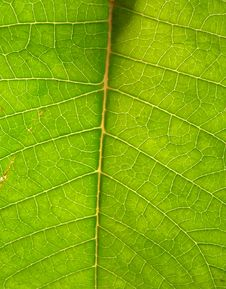 Free Underside Of Green Leaf 3 Stock Photo - 5995100
