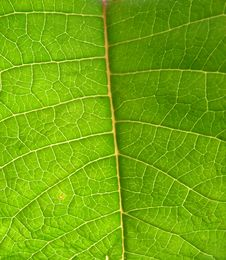 Free Underside Of Green Leaf Royalty Free Stock Photography - 5995137