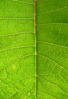 Free Underside Of Green Leaf Royalty Free Stock Images - 5995189