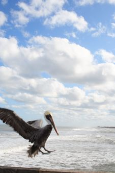 Free Pelican Lands On Pier Royalty Free Stock Photo - 5996305