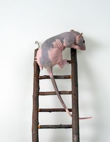Free Furless Rat On A Toy Staircase Royalty Free Stock Photos - 5996438