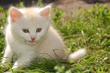 White Kitten Chewing Grass Royalty Free Stock Images