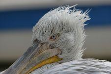 Free Pelican Head Closeup Royalty Free Stock Photos - 5997338