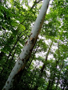Free Birch Tree Stock Photography - 5997682