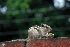 Free Squirrel Royalty Free Stock Photography - 5999287