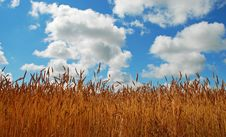 Free Barley Stock Image - 5999391