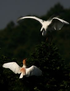 Free Happy Egrets Stock Image - 5999441