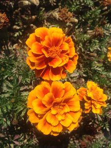 Free Tagetes Flowers On Long Beach, Long Island. Stock Images - 59958364