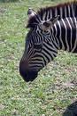 Free Zebra S Head Stock Photo - 68890