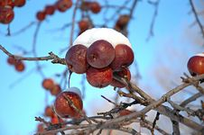 Free Snow Covered Crabapples Royalty Free Stock Photo - 60335