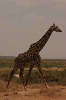 Free Mara Giraffe 1,04 Royalty Free Stock Images - 61429