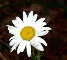 Free Daisy & Bug Stock Images - 61804