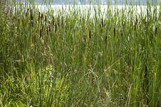Free Reeds Stock Photos - 62133