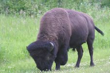 Free Male Bison Royalty Free Stock Photo - 62405