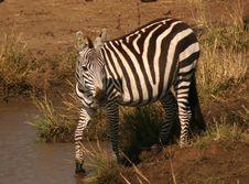 Free Mara Zebra 2 Stock Images - 62974