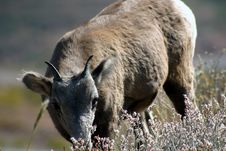 Free Young Big Horn Sheep Stock Photography - 68152
