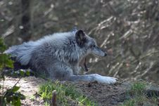 Free Grey Wolf Yawning. Royalty Free Stock Photos - 69218