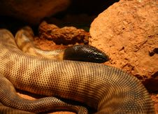 Free Blackheaded Snake Stock Image - 69771