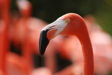 Free Pink Flamingo Royalty Free Stock Photos - 600488