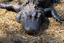 Free Gator Head Royalty Free Stock Images - 600609