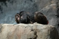 Free Chimpanzee Sleeping Royalty Free Stock Images - 600649