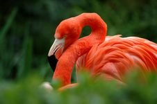 Free Flamingo III Stock Image - 600651