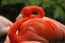 Free Flamingo I Stock Images - 600654